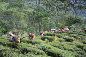 Glenburn Tea Fields
